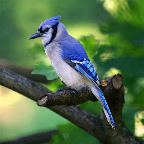 blue jays nature s noisemakers irvingparkgardenclub
