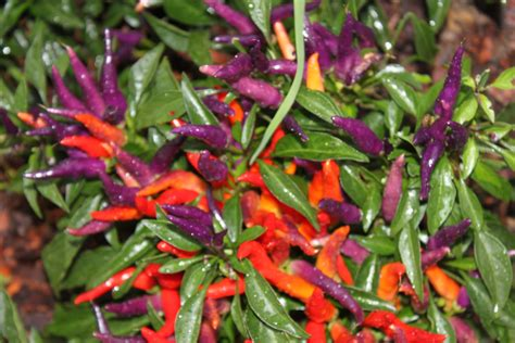 decorative pepper plants ornamental peppers in the landscape spice up your flower