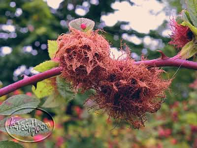 lade galle perth lade autumn leavesnbloom gardening photography