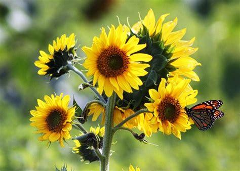 wallpaper bunga dan kupu kupu gambar bunga matahari kupu pernik dunia