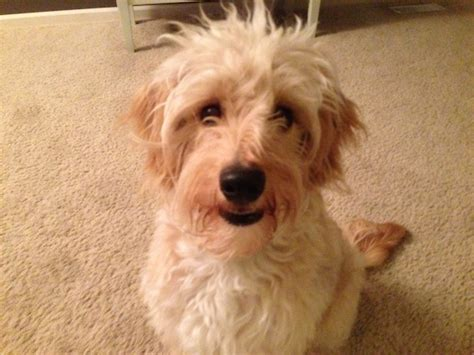 mini goldendoodle ta a high energy goldendoodle learns to calm to behave