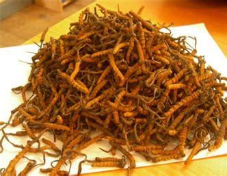 cordyceps sinensis cordyceps sinensis yarsagumba