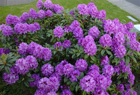 anah kruschke rhododendron plants on demand