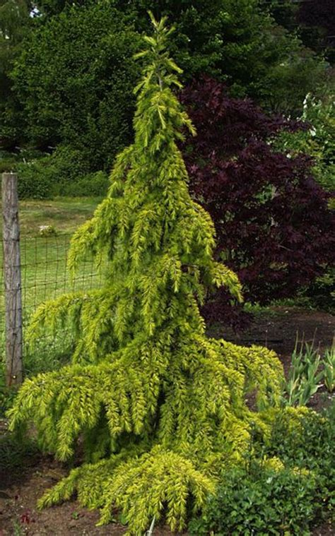 Balkonpflanzen Bestellen 244 by 244 Besten B 228 Ume Bilder Auf Gartenpflanzen