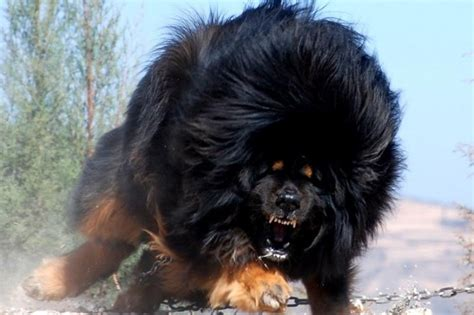 best dogs for protection the 11 best guard dogs for personal protection