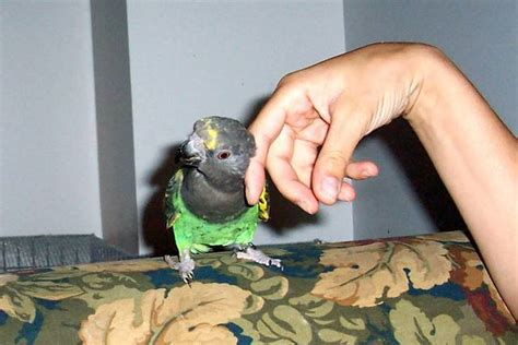 affectionate meyers parrot for sale adoption from nepean