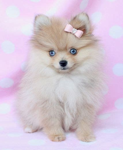 white pomeranian blue blue eyed pomeranian just the most adorable i this s best