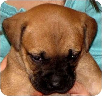 boxer puppies jacksonville fl oakley adopted puppy jacksonville fl boxer rottweiler mix