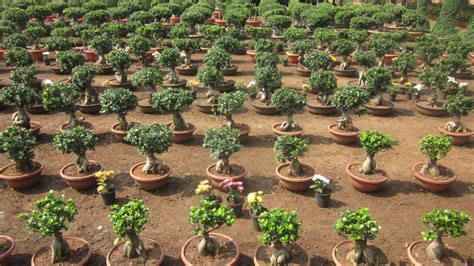 Home Decor Companies In India by Bonsai Plants Manufacturer In Andhra Pradesh India By Sri