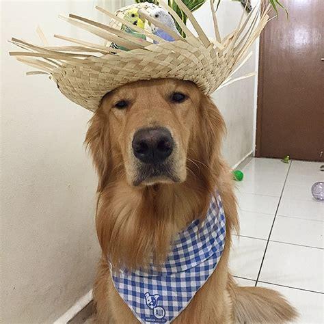 huffington post golden retriever インコたちと暮らすゴールデン レトリバーの優しい表情に