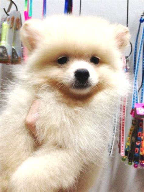 white miniature pomeranian for sale 2 mini pomeranian white and orange stambum and car interior design