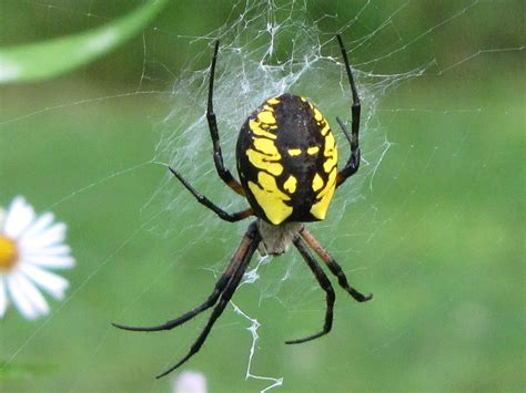 interesting facts  black  yellow garden spiders