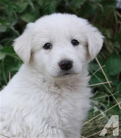 lgd puppies pyrenees anatolian lgd puppies for sale in davenport washington classified