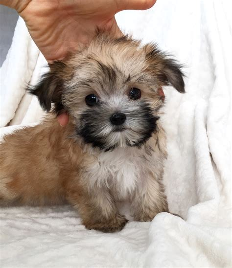 puppies for sale california tcup morkie puppy for sale california iheartteacups