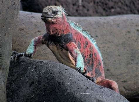 mockingbird predators eavesdropping iguanas use mockingbird calls to survive scientific american network