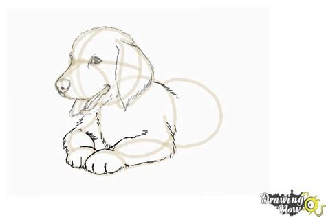 how to puppy how to draw a golden retriever puppy drawingnow