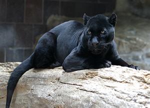 Panthers Jaguars Jaguar Biology Geology 4 Eso