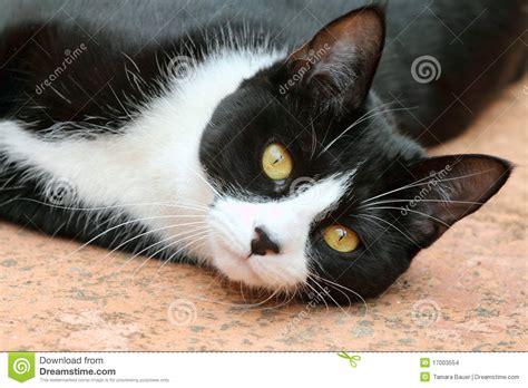 imagenes en blanco y negro gato gato blanco y negro lindo del smoking imagenes de archivo