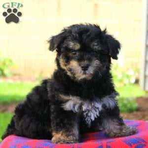 yorkie poo nj yorkie poo puppies for sale in de md ny nj philly dc and baltimore