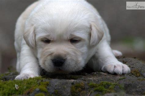 lab puppies for sale oregon labrador retriever for sale for 1 200 near portland oregon b08e19dc c641