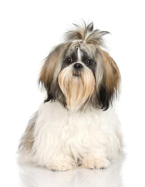 how to cut a shichons hair 26 best images about shih tzu hairstyles on pinterest