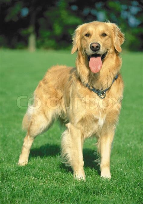 golden retriever that stays golden retriever stay on a green field stock photo colourbox