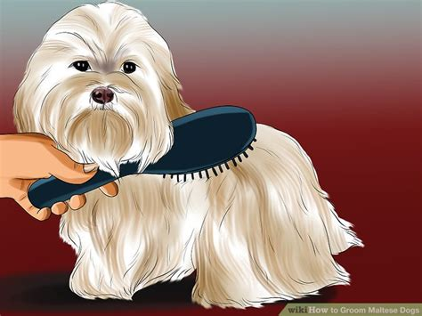 how to give my maltese yorky a haircut how to give my maltese a haircut haircuts models ideas