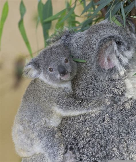 female koala pouch let s all play quot name that baby koala quot l a unleashed