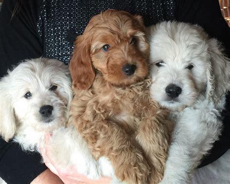 goldendoodle puppies kentucky doodles2love premiere breeder of goldendoodles