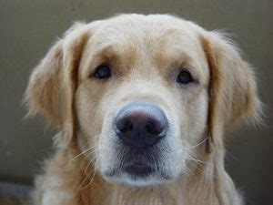 to freedom golden retriever rescue god dogs and unconditional 183 finding your soul