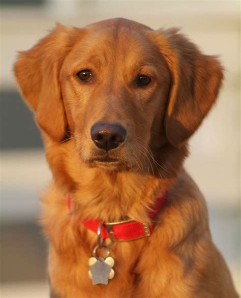 what color will my golden retriever be best 25 golden retrievers ideas on golden retrievers golden color
