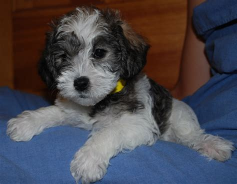 schnoodle puppies nc carolina schnoodles