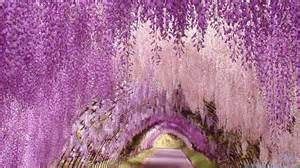 wisteria flower tunnel in japan wisteria flower tunnel unknown world