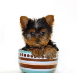 free teacup yorkies puppies teacup yorkies for free in images