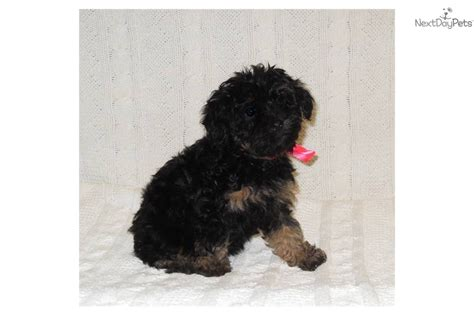 black yorkies for sale yorkiepoo yorkie poo puppy for sale near sioux city iowa 0aeae17d b401
