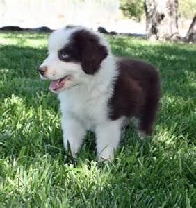 Toy aussie puppies mini aussie puppy australian shepherd