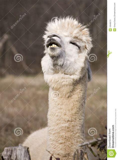 funny llama royalty  stock photo image