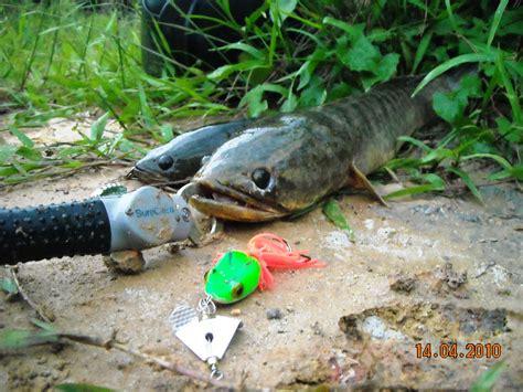 Ikan Tiruan pancing ikan haruan related keywords suggestions pancing ikan haruan keywords