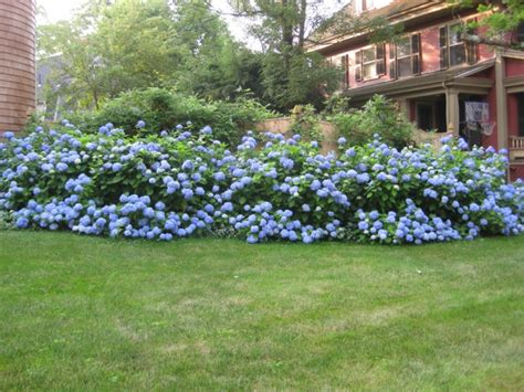 Garten Gestalten Hortensien by Garten Mit Hortensien Gestalten Haloring