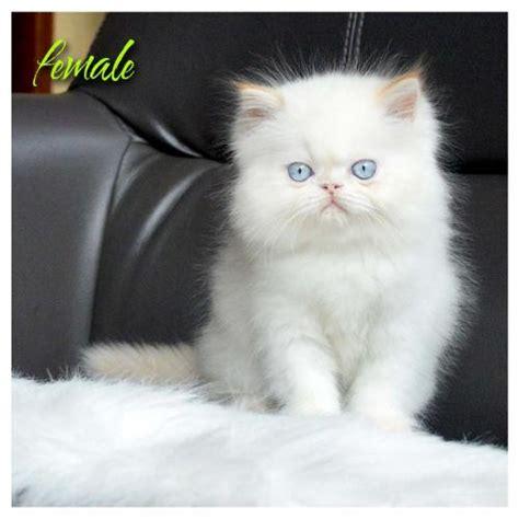 Jual Keranjang Kucing Bandung jual kucing jual kitten anggora himalaya maine coon newhairstylesformen2014