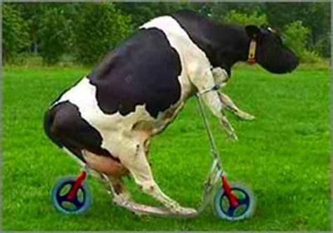 imagenes mamonas de vacas vacas engra 231 adas