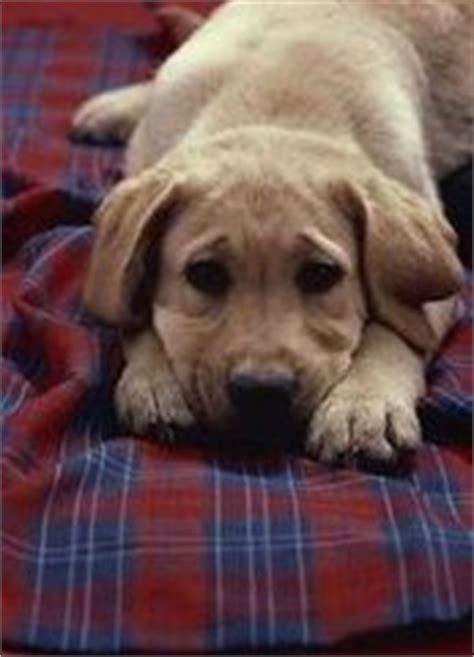 prednisone side effects in dogs 25 best ideas about prednisone side effects on veterinary oncology