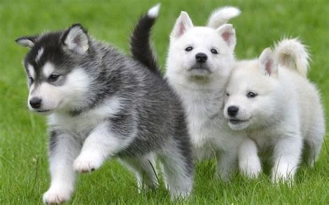 husky puppy care huskies breeds pets world