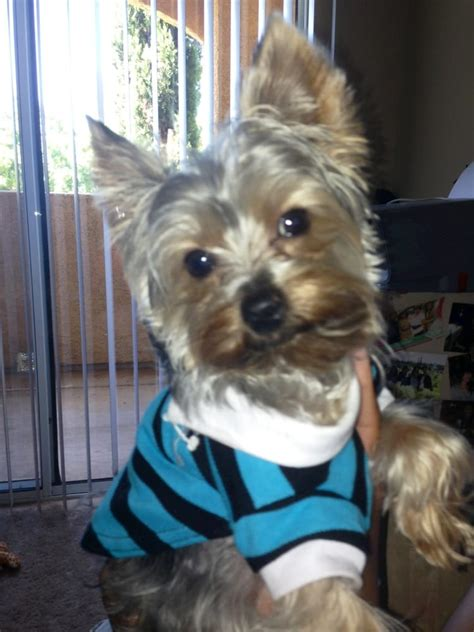 8 lb yorkie joey on his day with us yelp