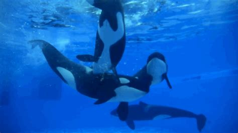 underwater wallpaper gif the real lives of captive orcas revealed in videos from