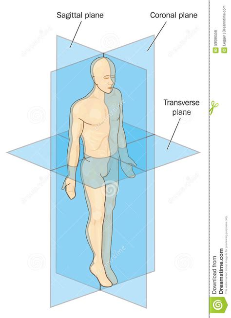 coronal section of body anatomical planes of section stock vector image 59086556