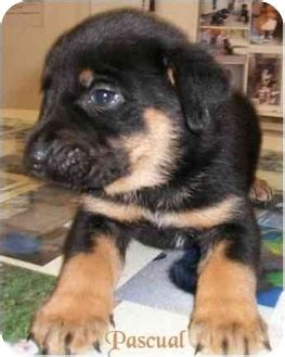 rottweiler chow chow mix pascual adopted puppy ozark al rottweiler chow chow mix