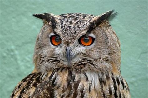 wallpaper android owl owls wallpapers app for android