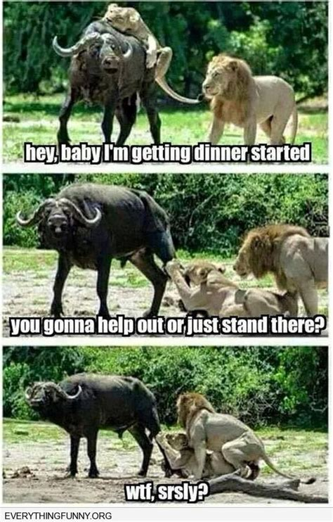Lion Sex Meme - funny caption lioness tries to take down buffalo male lion