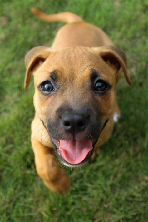boxer mix puppy 17 best ideas about boxer mix on boxer puppies baby bulldogs and adorable